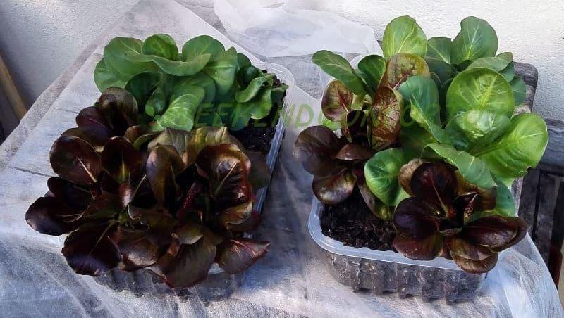insalata pronta per il raccolto